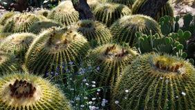 Barrel Cactus Arizona. Dense planting of barrel cactus. Barrel cactus are various members of the two genera Echinocactus and Ferocactus, found in the deserts of stock photography