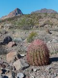 Barrel Cactus, Arizona desert. Barrel Cactus in the Black Mountains of western Arizona royalty free stock photo