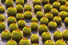 Barrel Cactus. Look like giant eyeballs in a succulent garden stock photos