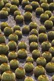 Barrel Cactus. In a rock garden stock image