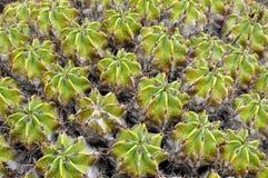 Barrel cactus. Big group of the barrel cactus Ferocactus robustus royalty free stock photography