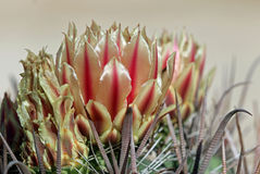 Barrel Cactus Bloom. Barrel cactus - Ferrocactus Cylindraceus - blooming above curved thorns inthe desert of Baja Mexico Stock Image