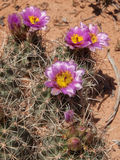 Barrel cactus in bloom Royalty Free Stock Photos