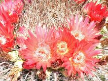 Barrel Cactus in bloom. Spring flowers ring the top of this echinocactus grusonii in the southwest desert of Arizona stock images