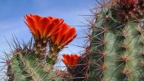 Barrel Cactus Blooming - Panorama Stock Photos