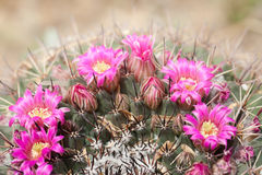 Barrel Cactus Blooms. Bright pink blooms offset needles in a half-moon capture stock photo