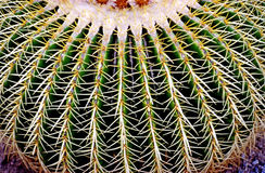 Barrel Cactus Royalty Free Stock Photos