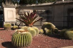 Barrel Cactus in botanical gardens with sandstone wall in background. Autumn in the garden Sydney, Australia royalty free stock photo