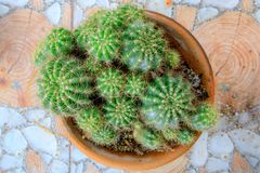 Barrel cactus in clay pot. stock photography