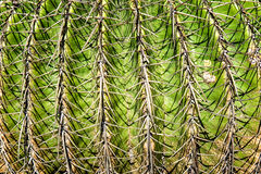 Barrel Cactus Close up Royalty Free Stock Images