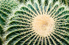 Barrel cactus Royalty Free Stock Images