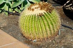 Barrel cactus. Closeup of a big echinocatus stock image
