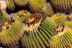 Barrel Cactus Closeup Detail. Detail closeup view of the ridges, spines and thorns of a barrel cactus stock image