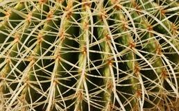 Barrel Cactus closeup. Royalty Free Stock Photography
