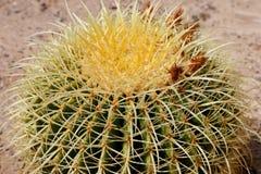 Barrel Cactus closeup. Stock Image