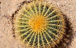 Barrel Cactus closeup. Stock Photography