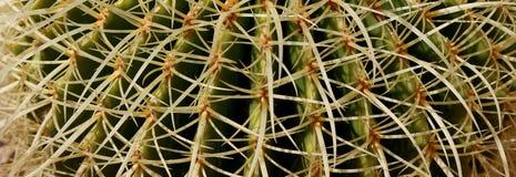 Barrel Cactus closeup. Royalty Free Stock Images