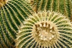 Barrel cactus closeup. Closeup of golden barrel cactus echinocactus stock images