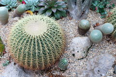 Barrel Cactus 2. Cultivated barrel cacti in a desert landscape setting Royalty Free Stock Images