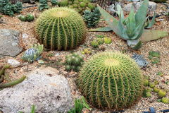 Barrel Cactus 1. Cultivated Barrel Cacti in a desert landscape setting Royalty Free Stock Images