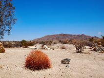 Barrel Cactus In Desert Landscape. A vibrant red barrel cactus in a horizontal desert landscape in Joshua Tree National Park in southern California, USA stock images