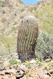 Barrel cactus in the desert royalty free stock photos