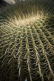 Barrel cactus. Echinocactus grusonii belongs to the small genus Echinocactus, which together with the related genus Ferocactus, are commonly referred to as royalty free stock photo