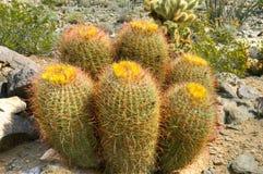 Barrel Cactus Stock Image