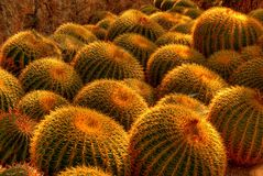 Barrel Cactus Farm Royalty Free Stock Images