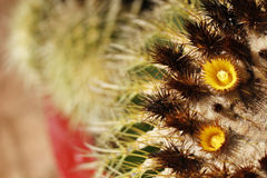 Barrel Cactus Flower Stock Images