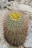 Barrel Cactus Flowering in Anza Borrego State Park, California Royalty Free Stock Images