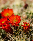 Barrel Cactus Flowers Royalty Free Stock Photo