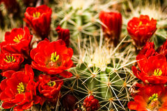 Barrel Cactus Flowers. Many red blooms on top of barrel cactus royalty free stock photography