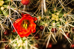 Barrel Cactus Flowers Stock Photo