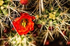 Barrel Cactus Flowers. Close up of blooming barrel cactus flowers stock photo