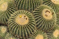 Barrel Cactus. Giant barrel cactus in Southern California stock photography
