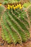 Barrel cactus. Green spiny barrel cactus with fruit stock photo