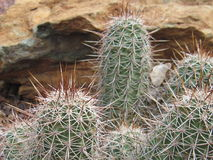 Barrel Cactus. Group of barrel cactus in arizona Stock Images