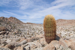 Barrel cactus. Lone barrel cactus growing on rocky hill in barren desert landscape in southern California royalty free stock photos