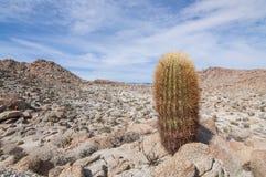 Barrel cactus Royalty Free Stock Photos
