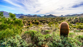 Barrel Cactus and many Saguaro cacti and shrubs in the mountainous desert landscape near Lake Bartlett royalty free stock image