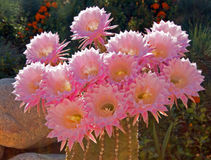 Barrel Cactus Pink Blooming Flower in Palmdale Stock Photos
