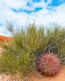 Barrel Cactus, Pink Canyon, Valley of Fire State Park, NV Royalty Free Stock Photos