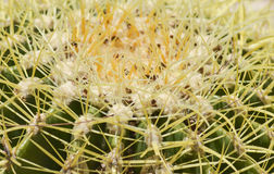 Barrel cactus plant in an arid desert garden. Close-up detail of a barrel cactus plant echinocactus in an ornamental arid desert garden Royalty Free Stock Photography