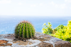 Barrel Cactus on Stone Wall by Sea Stock Photography