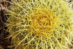 Barrel cactus yellow spines needles. Spiny needle round cacti plant southwestern desert royalty free stock photos