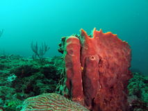 Barrel Coral. This is barrel coral taken at about 30 feet in Pompano beach, Florida Stock Photo