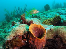 Barrel Coral. This is barrel coral taken at about 35 feet in Pompano beach, Florida Stock Image