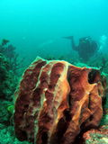 Barrel Coral with Diver. Barrel Coral with a diver in background taken at 30 feet off the south Florida coast Stock Photos
