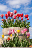 Barrel full of Tulips Royalty Free Stock Image